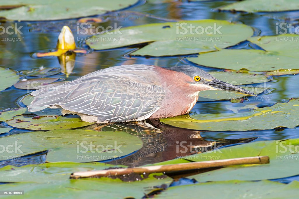 Green Heron amid lily pads stock photo