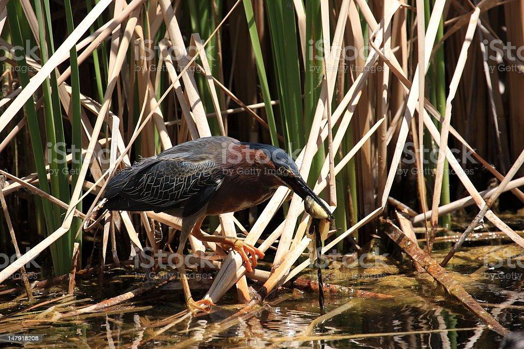 Green Heron Eating Bullfrog Tadpole royalty-free stock photo