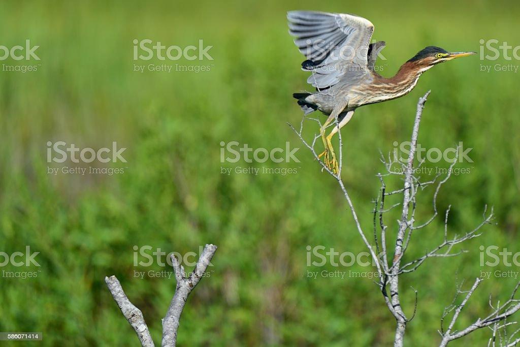 Green Heron Flayaway stock photo