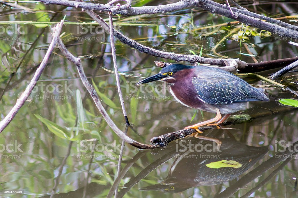 Green Heron Goes Fishing stock photo