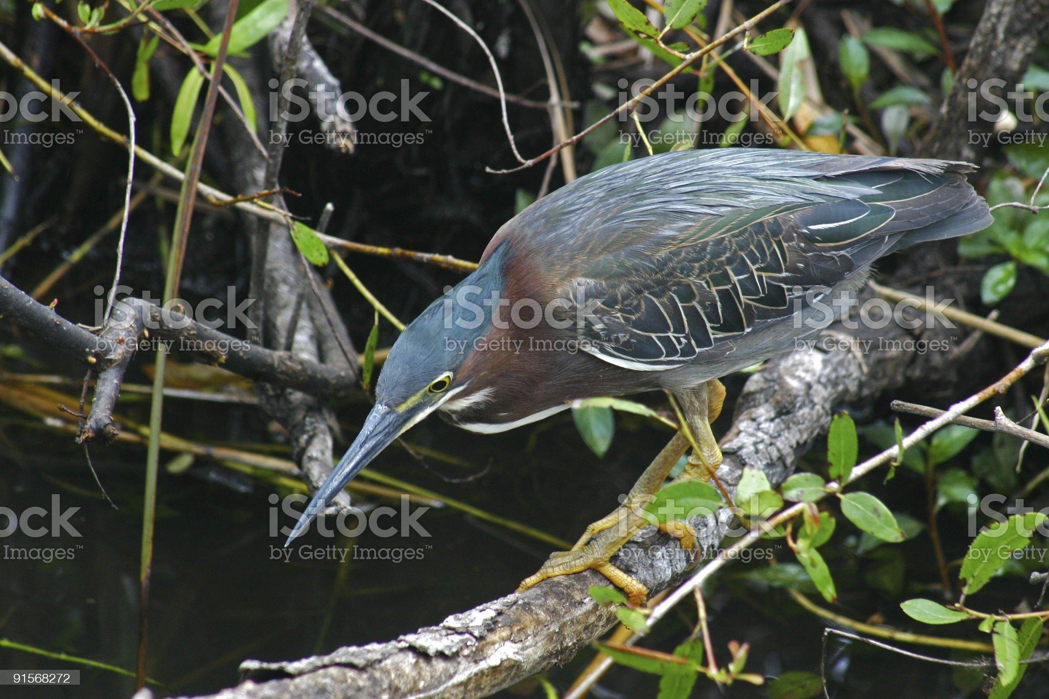 Green Heron hunting royalty-free stock photo
