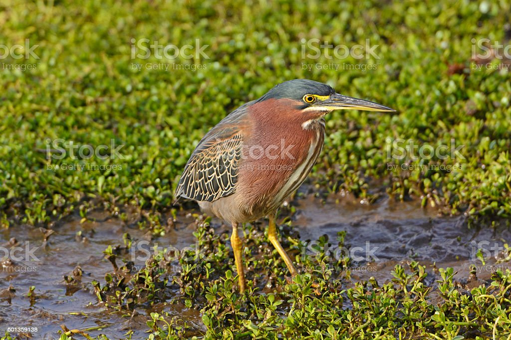 Green Heron in a Wetland Marsh stock photo