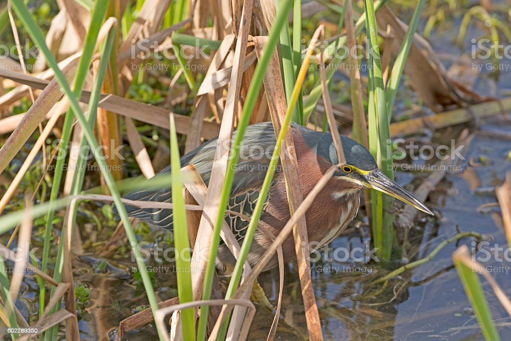 Green Heron on the Hunt stock photo