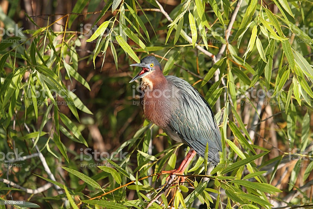 Green Heron (Butorides virescens) stock photo