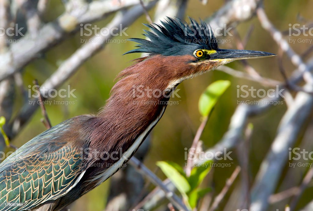 Green Heron - Raised Crest stock photo