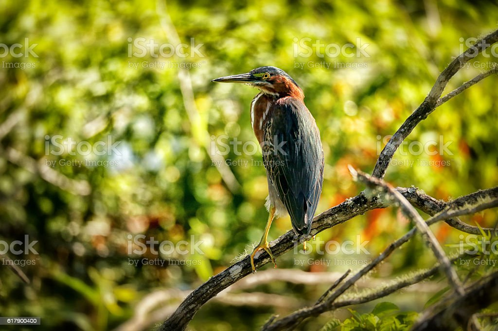 Green Heron resting stock photo