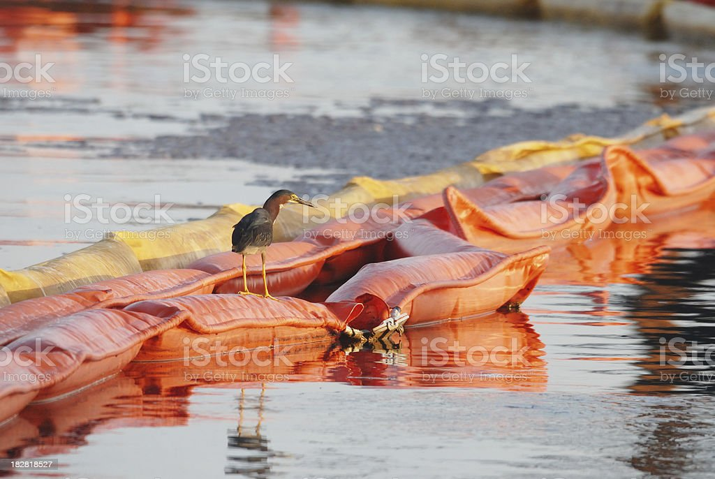 Green Heron Sitting on Oil Boom stock photo