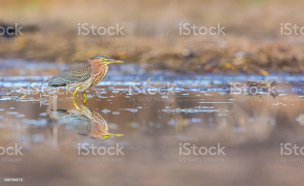 Green Heron stalking prey in a swamp. stock photo