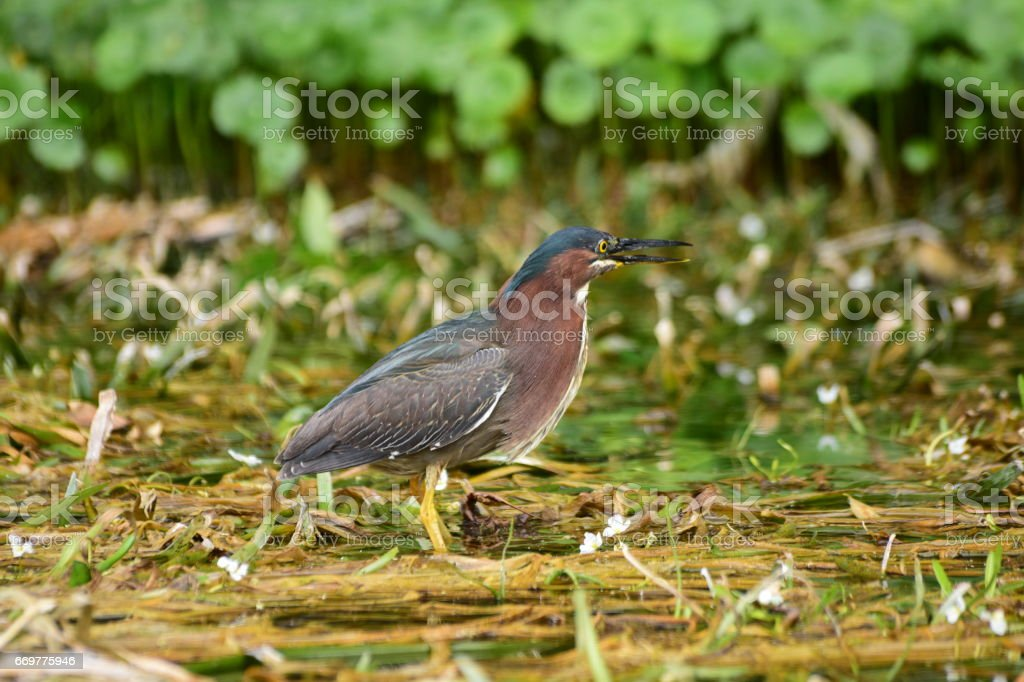 Green heron standing on submerged vegetation in wetland stock photo