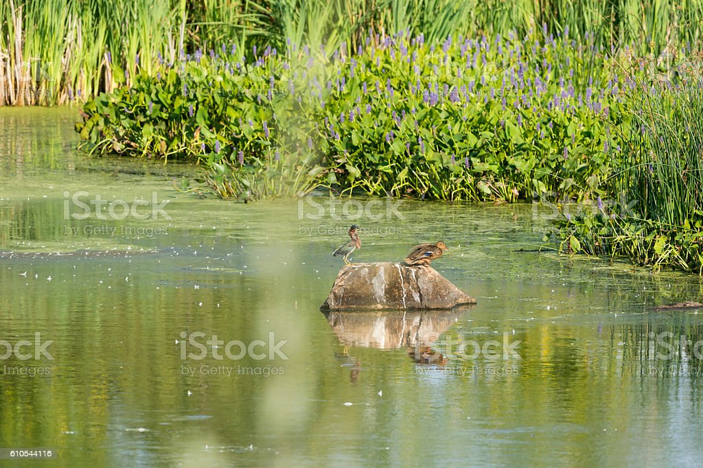 Green Heron versus mallard stock photo