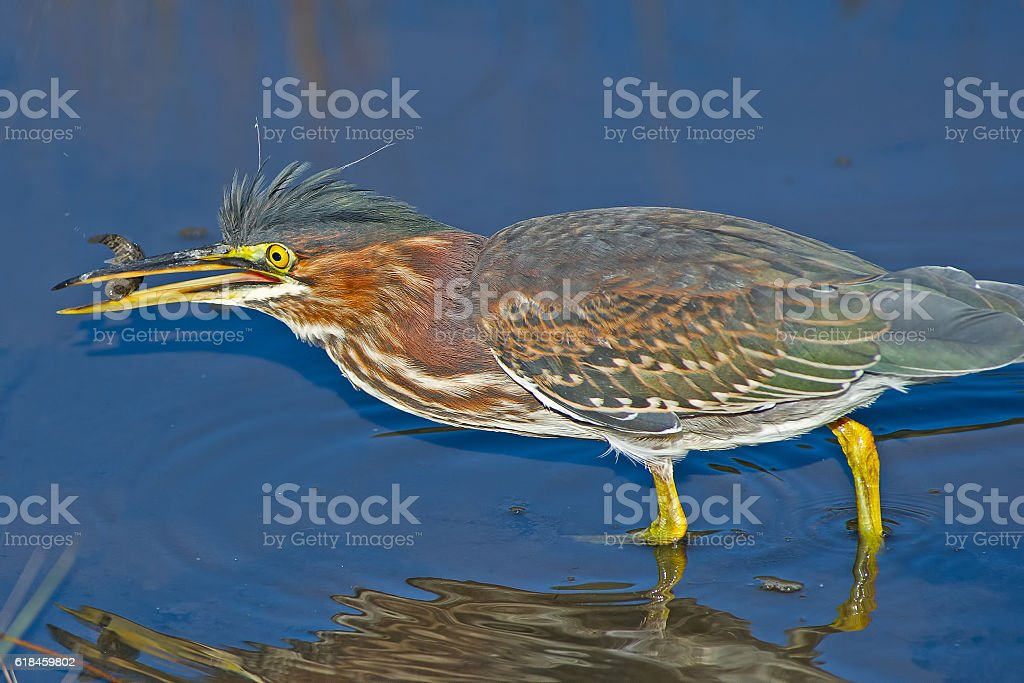 Green Heron with Tadpole stock photo