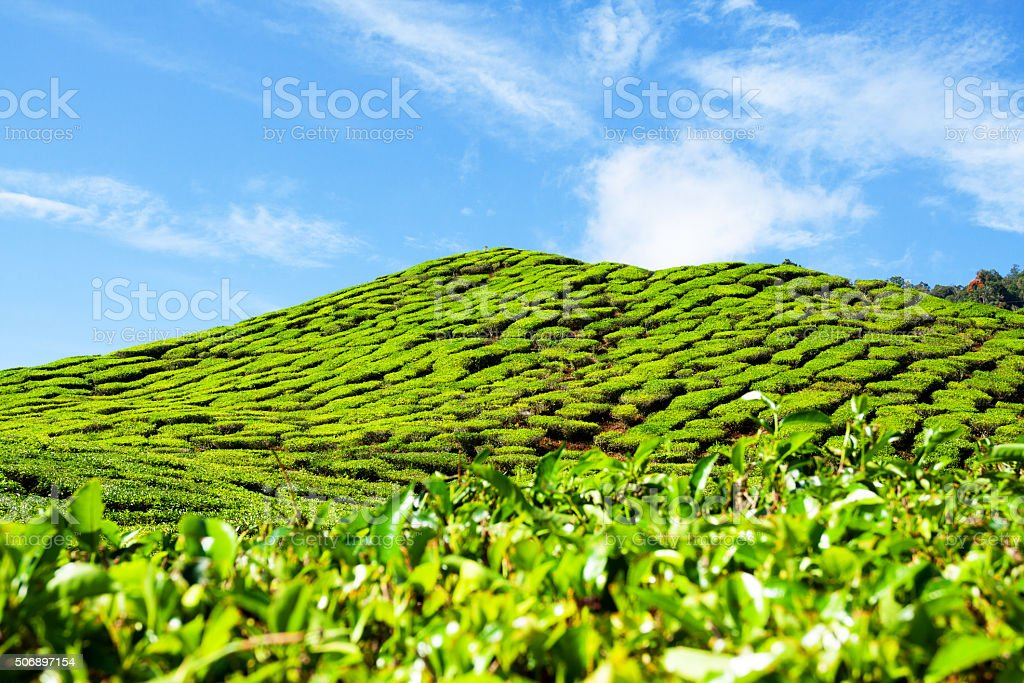 Green hill of tea plantation stock photo