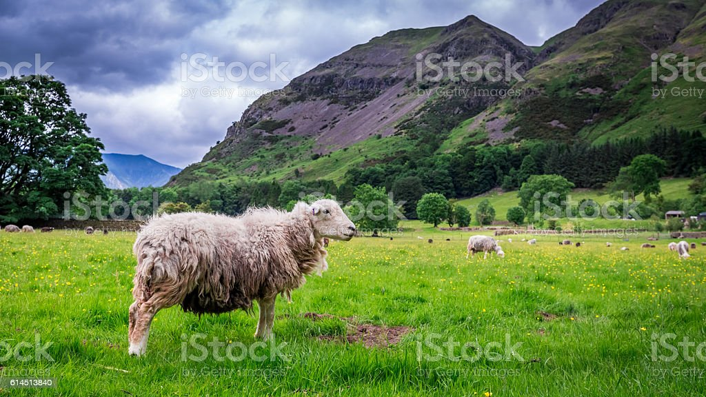Green hills and sheeps on pasture in District Lake, England stock photo