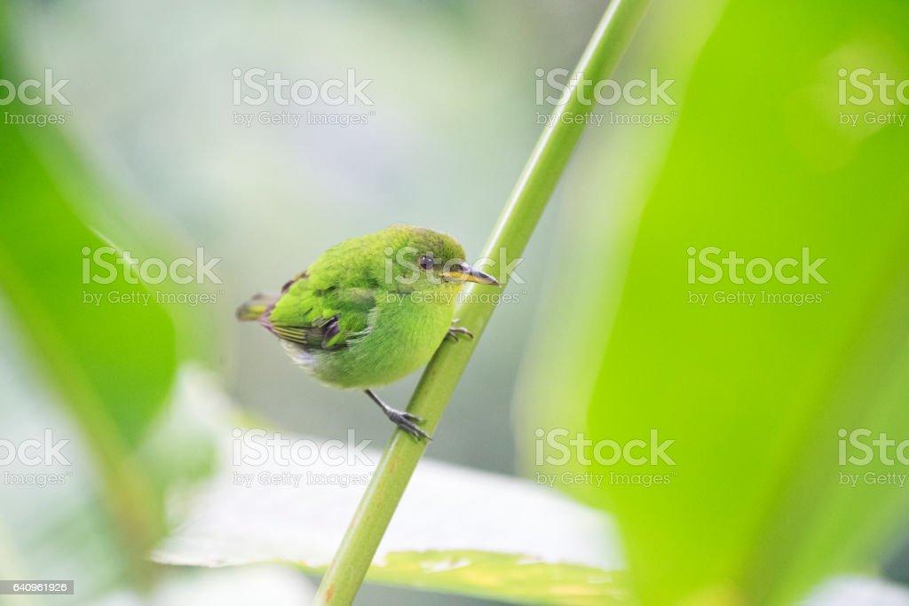Green honeycreeper stock photo