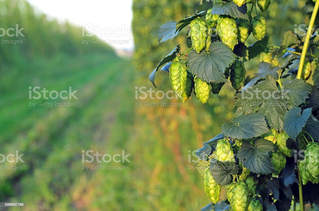 Green hops - close up stock photo