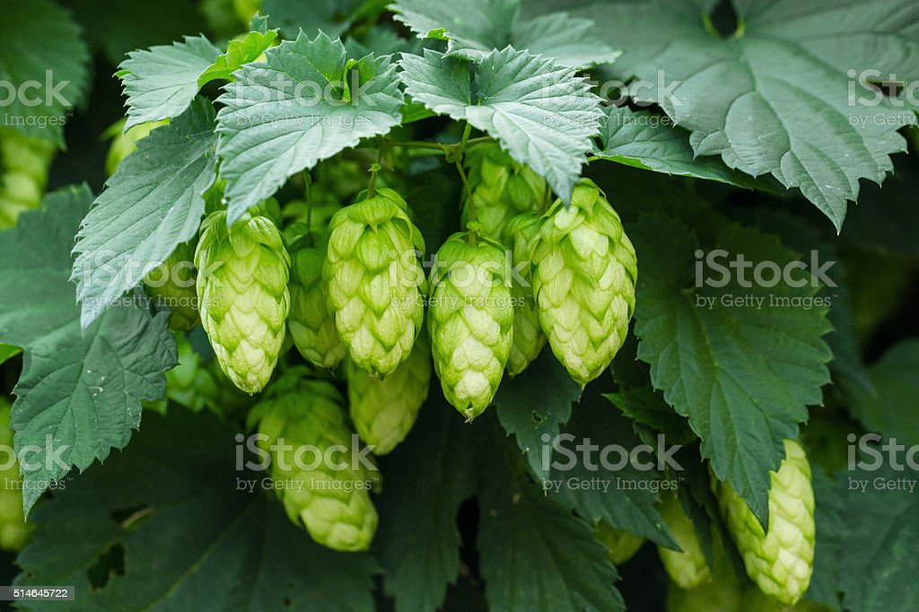 Green hops stock photo