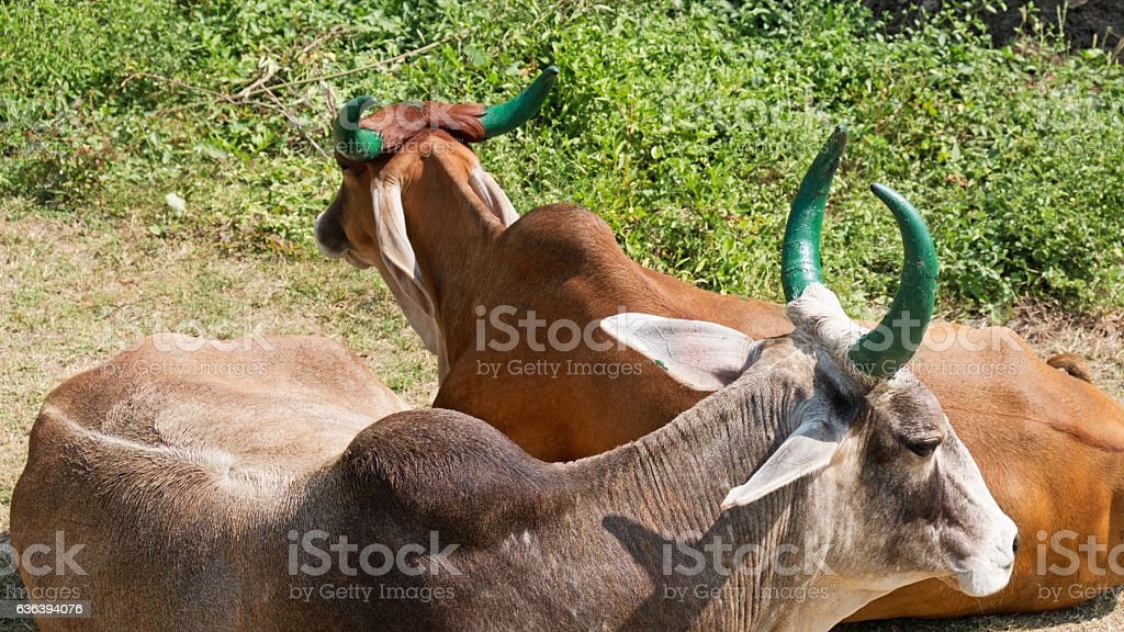 Green horned cattle in Gujarat stock photo