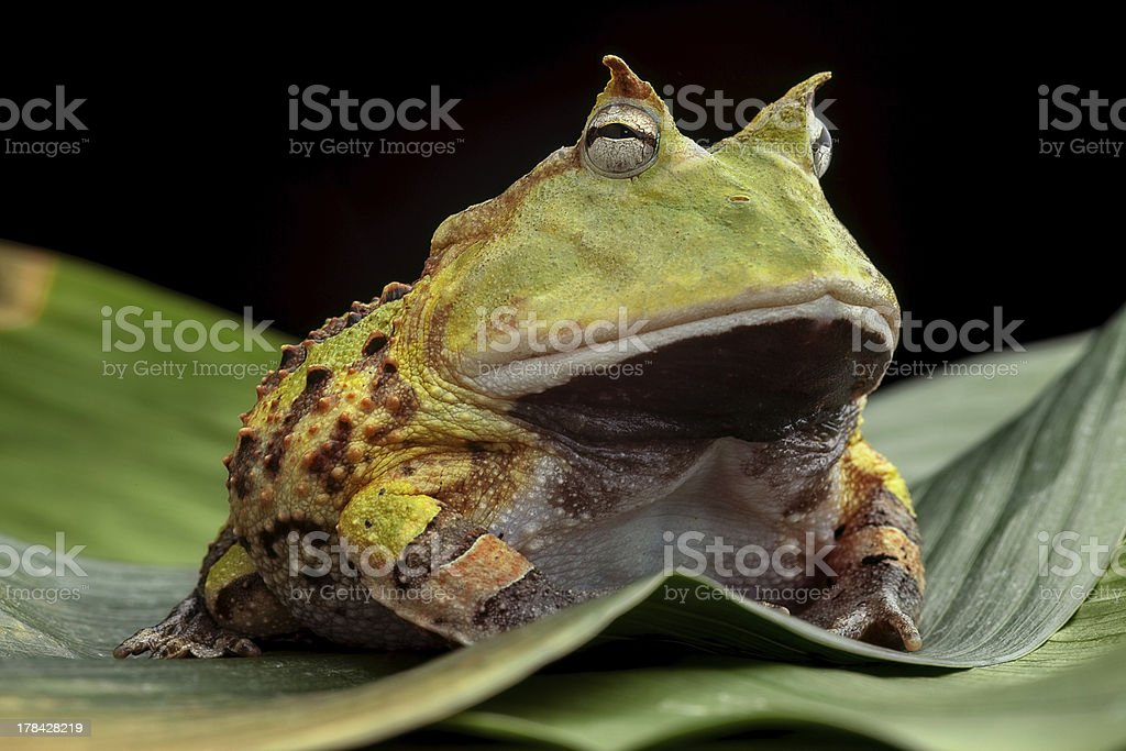 Green horned toad resting on leaves stock photo
