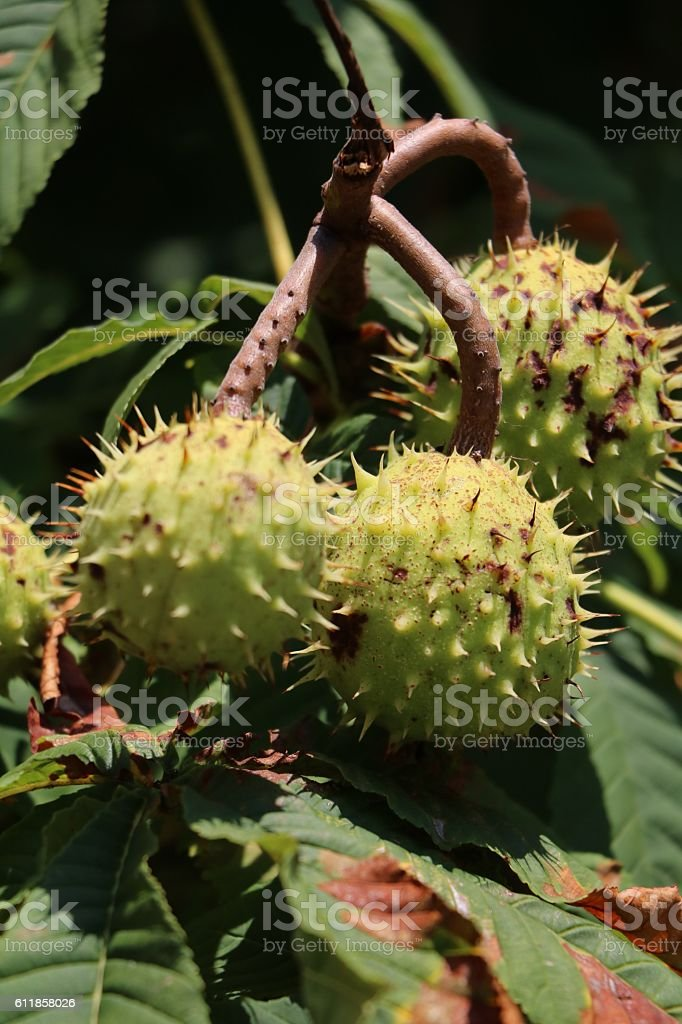 Green Horse Chestnuts in fall stock photo