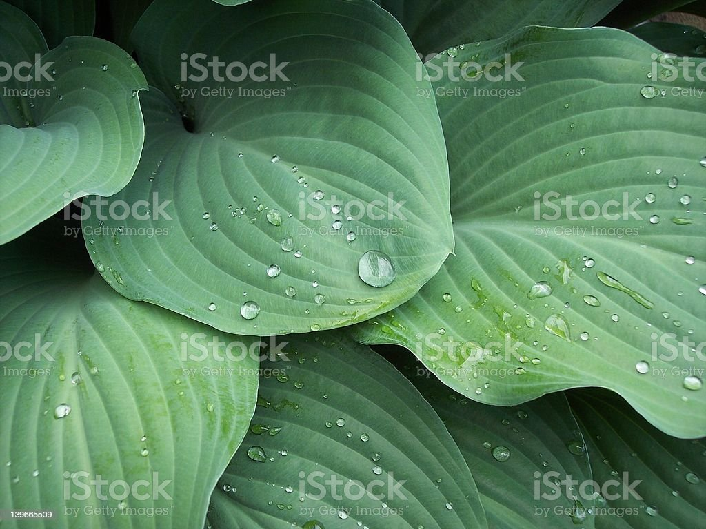 green hosta leaves stock photo