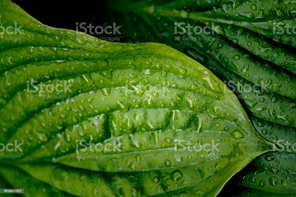 Green Hosta Leaves With Raindrops stock photo