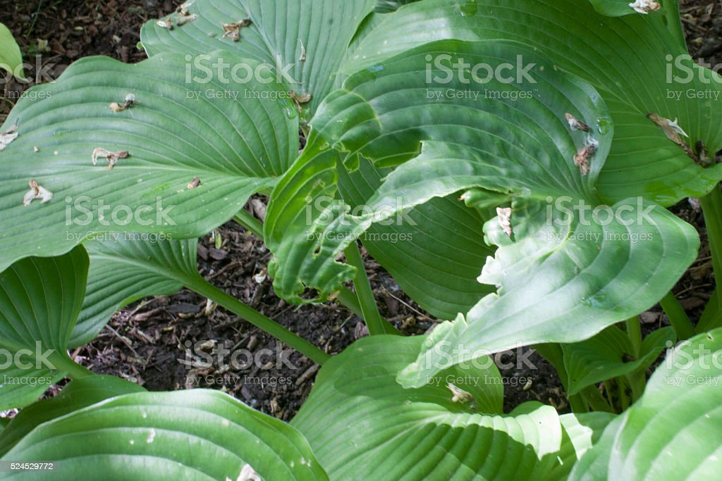Green Hosta Plant with Insect Damage stock photo