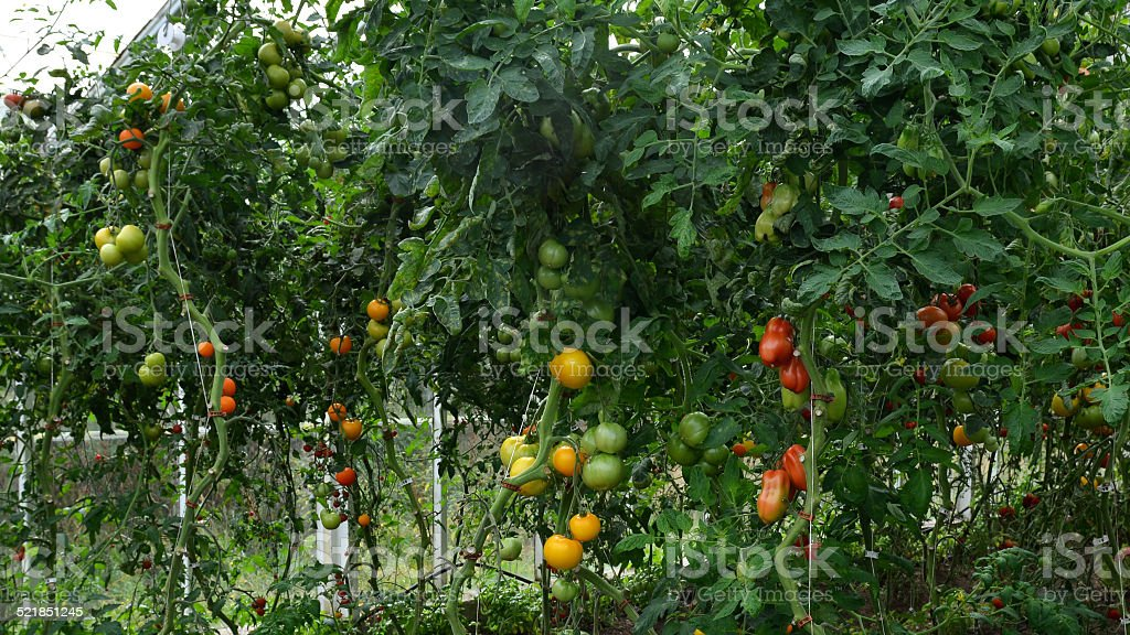 Green House Tomatoes stock photo