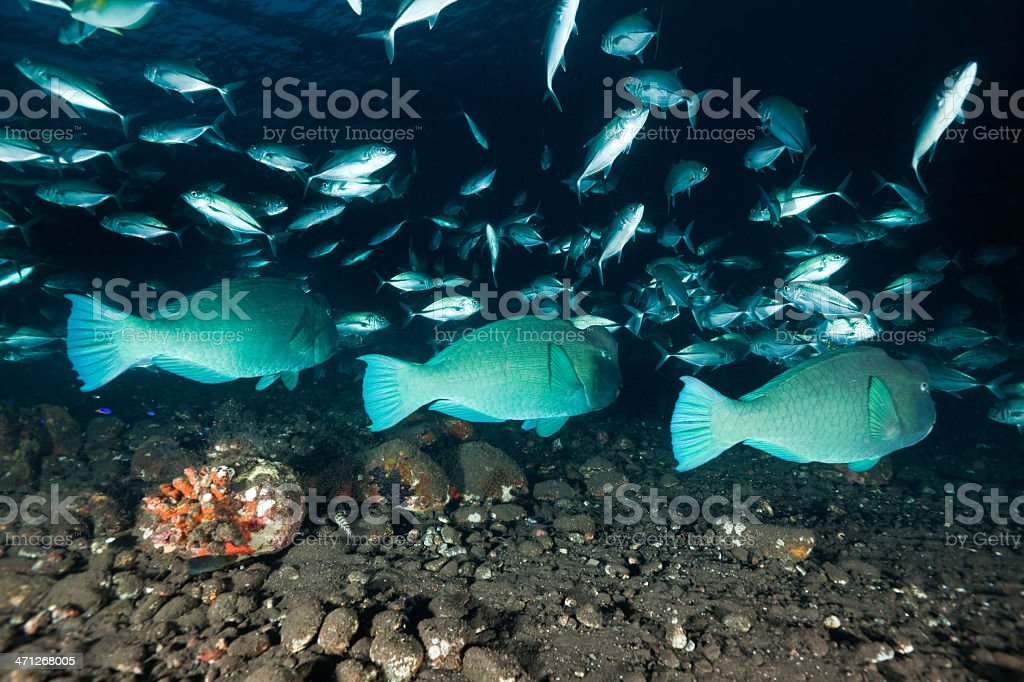 Green Humphead Parrotfishes and  Bigeye Trevallys on black Sand, North-Bali. stock photo