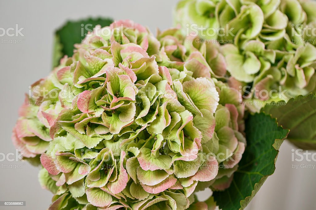 Green hydrangea blooming, floral nature background, outdoor, banner stock photo