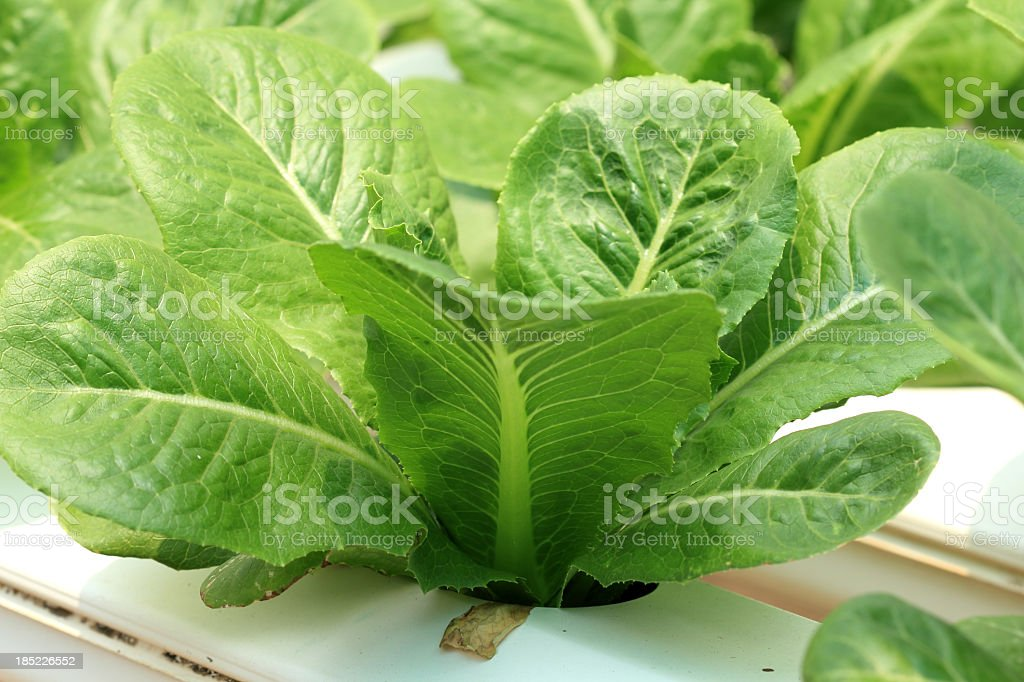 Green hydroponics vegetable royalty-free stock photo
