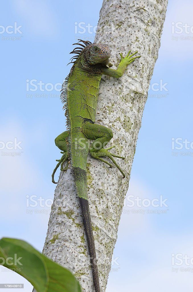 Green Iguana Climbing a Tree royalty-free stock photo