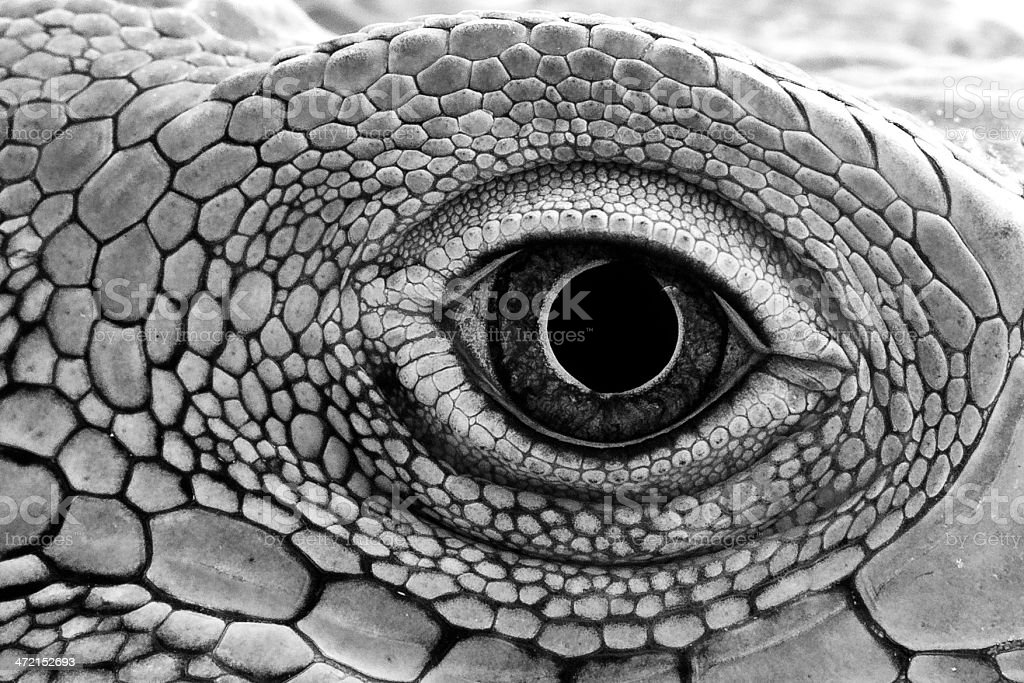 Green Iguana Eye Close Up stock photo