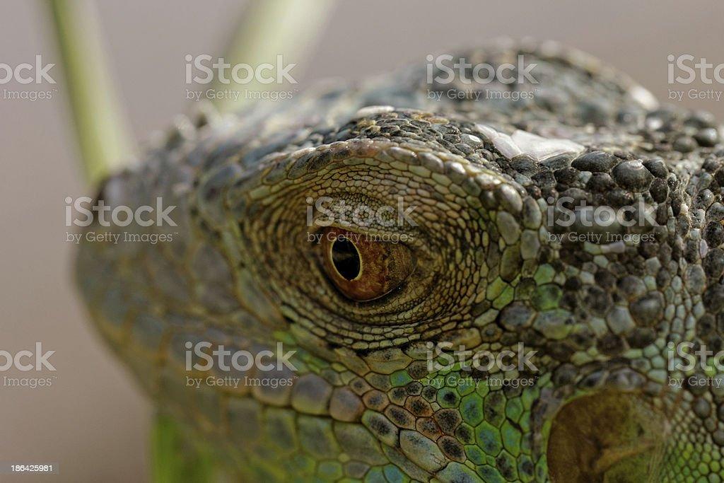 green iguana eye royalty-free stock photo