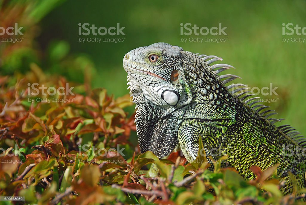 Green Iguana moving up on a Hedge. stock photo
