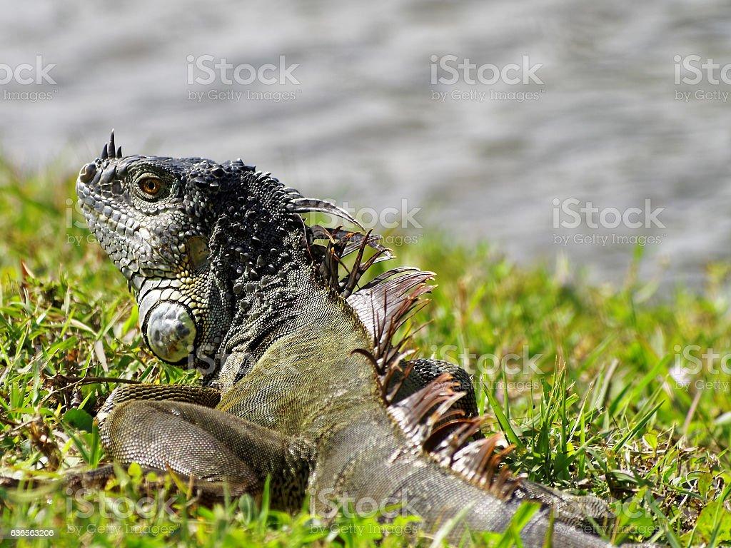 Green Iguana on Grass by Lake stock photo