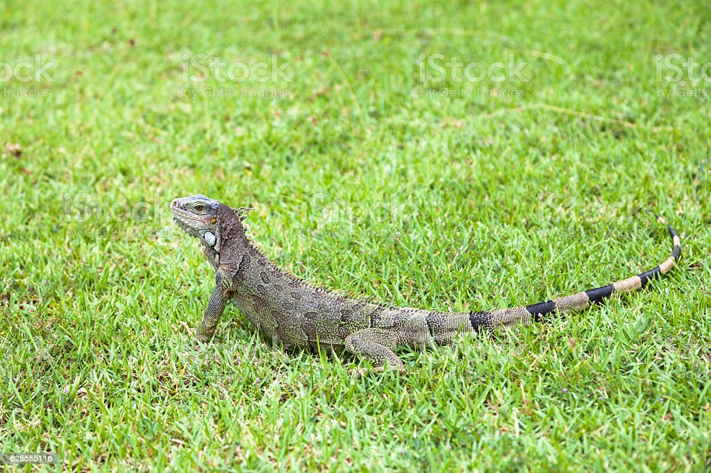 Green iguana on grass stock photo