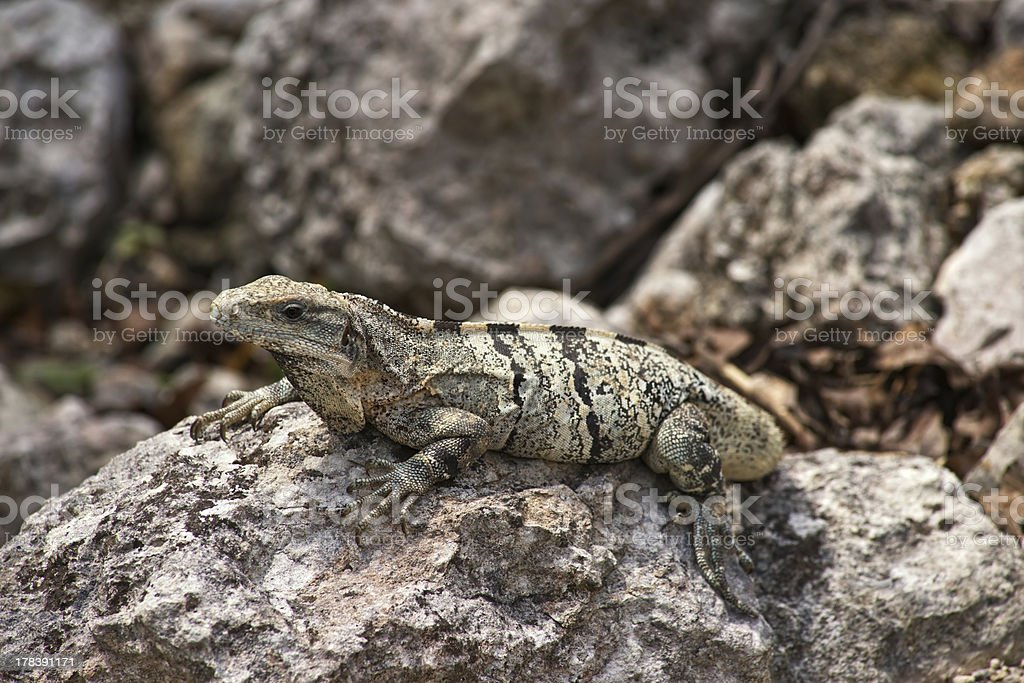 Green Iguana perched on the rocks royalty-free stock photo