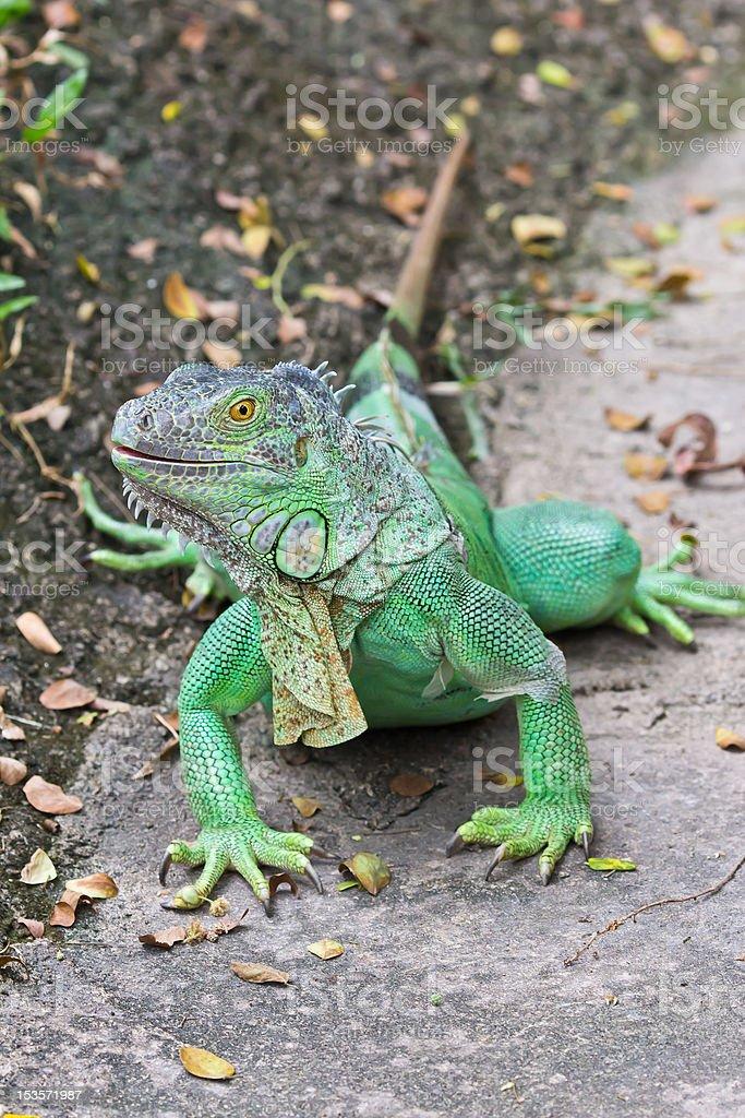 iguana verde foto stock royalty-free