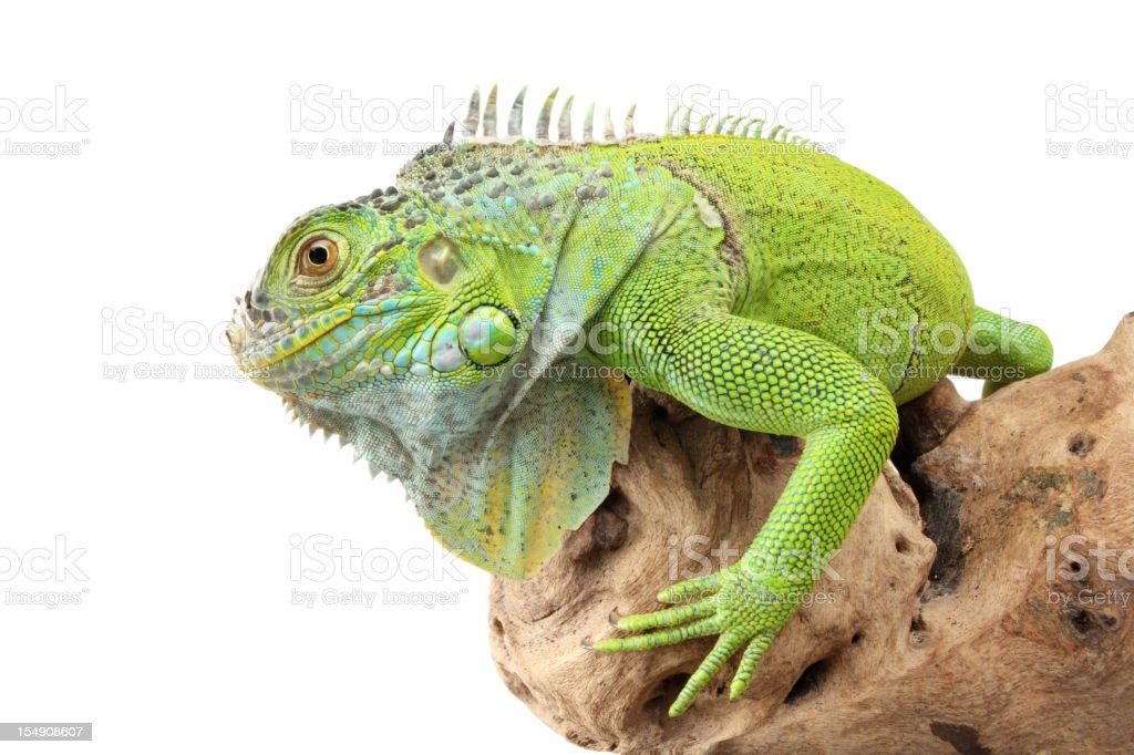 Green Iguana royalty-free stock photo