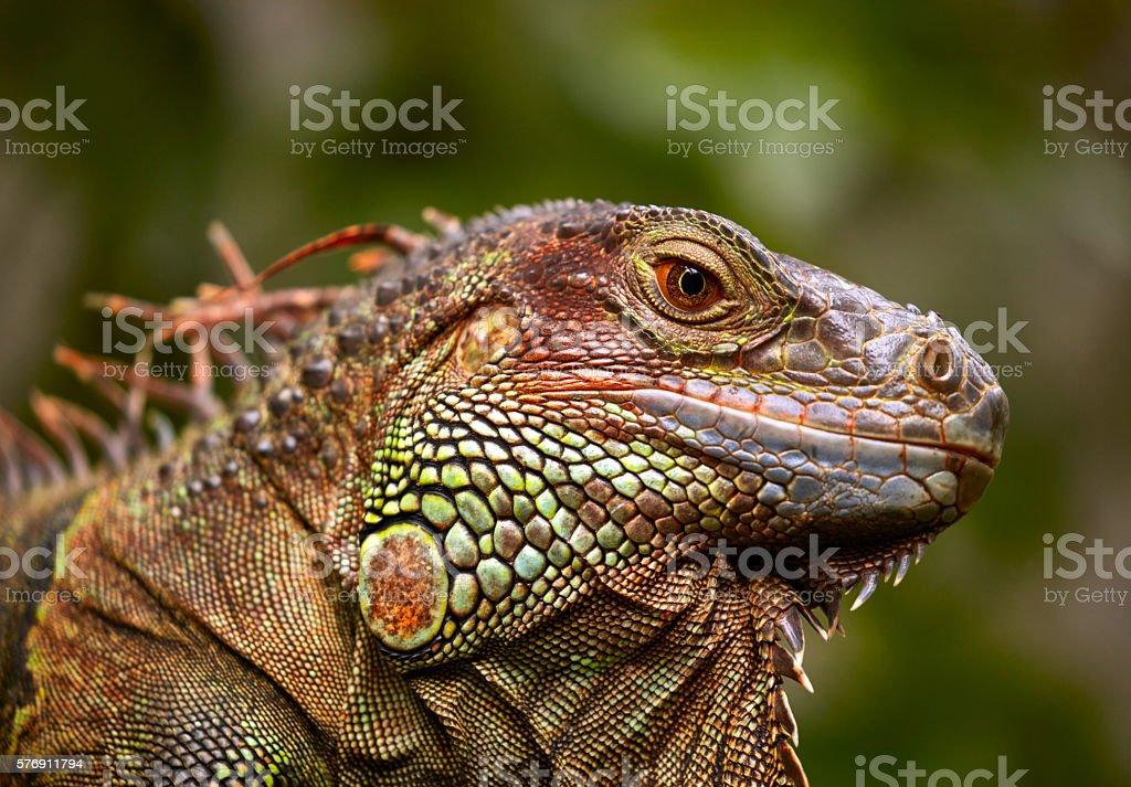 Green Iguana reptile stock photo