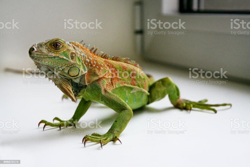 Green Iguana reptiles. Perfect portrait of a green iguana reptiles, close up. Close up portrait of exotic home pet green iguana. Reptile sit on window. Selective focus. stock photo