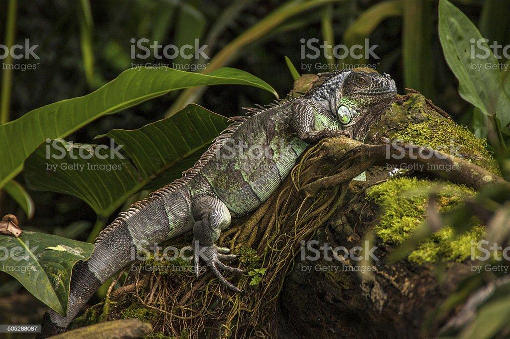 Green Iguana resting on branch royalty-free stock photo