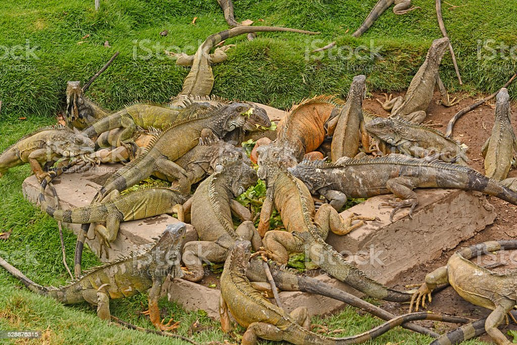 Green Iguanas in a city park stock photo