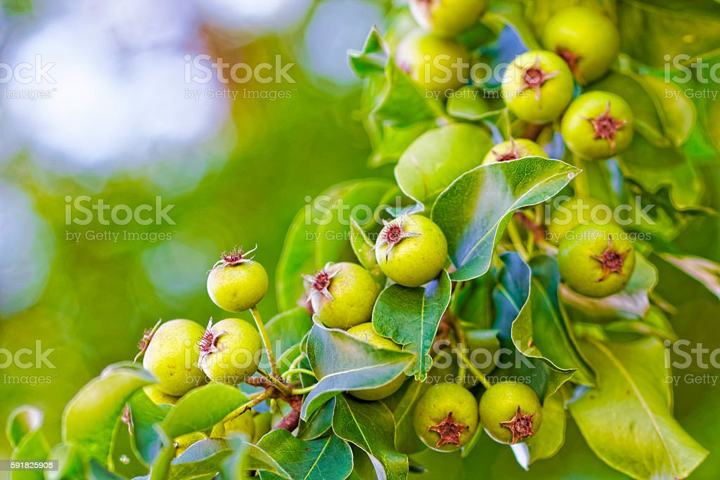 Green immature crabapples on a tree. stock photo