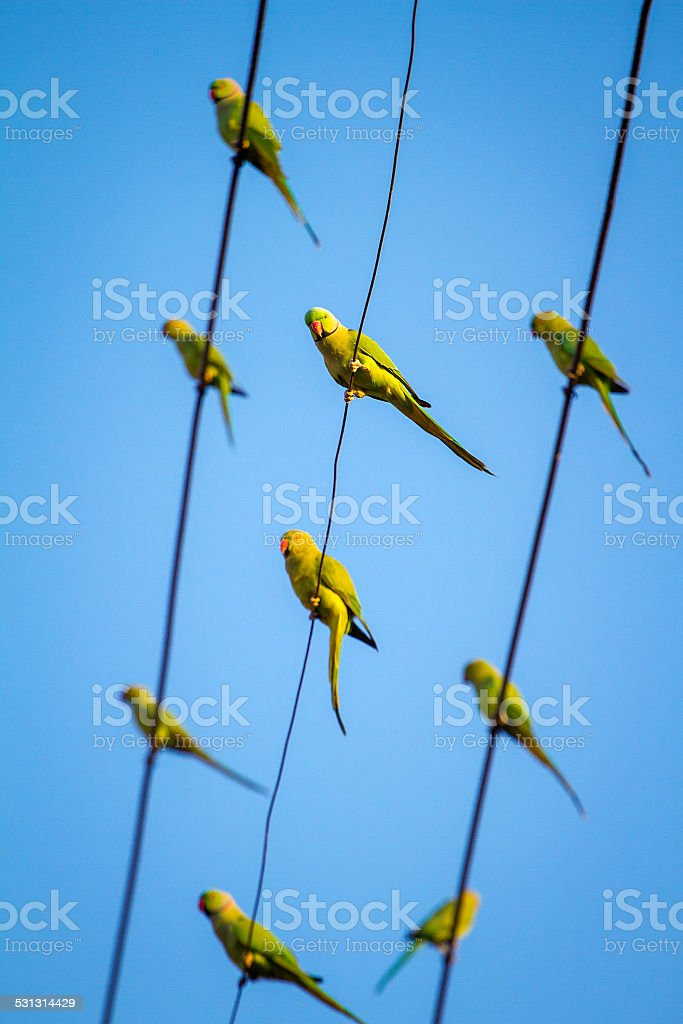 Green Indian Ringnecked Parakeet parrots on the wire stock photo