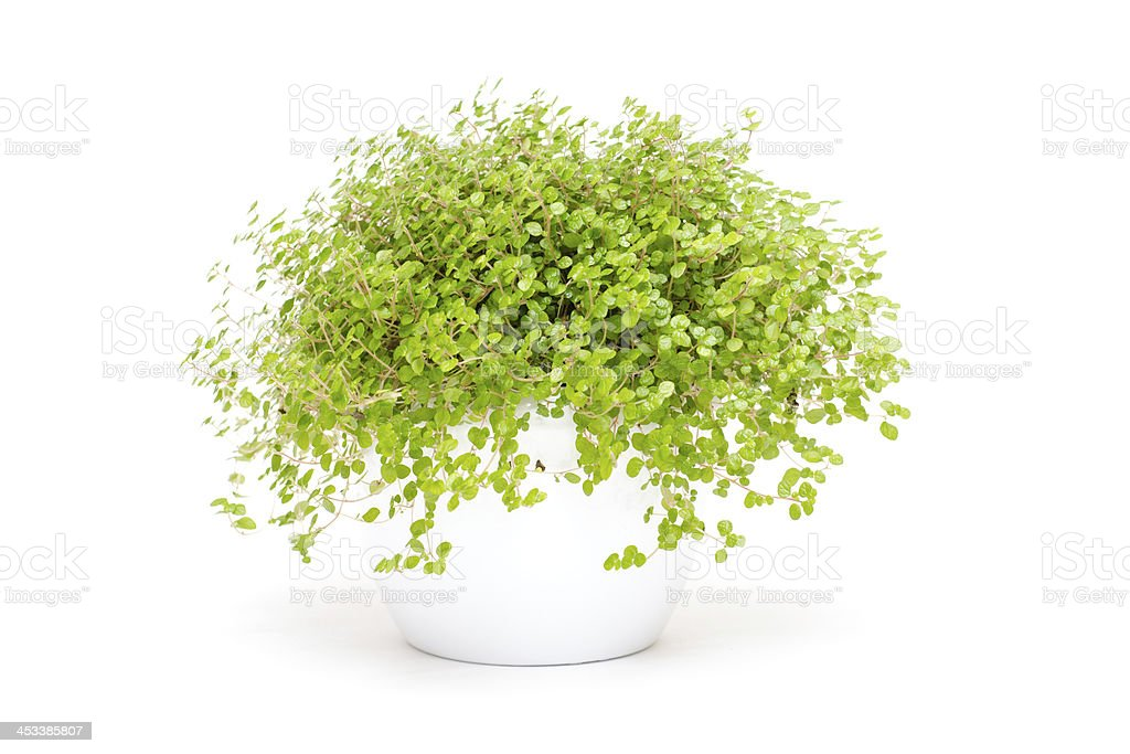 Green indoor plant baby`s tears stock photo