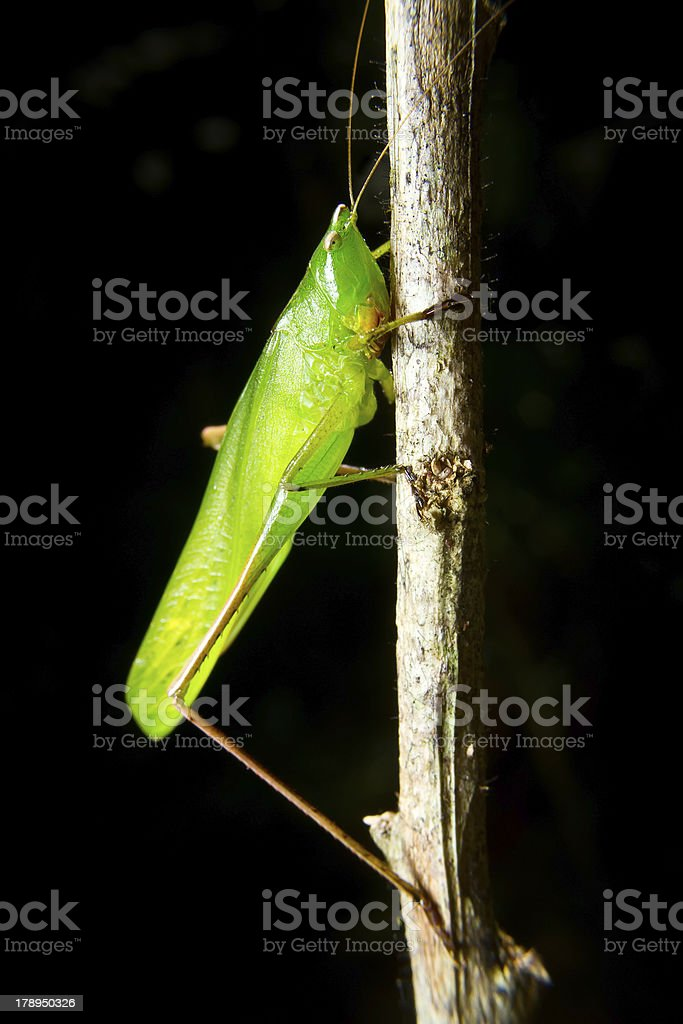 green insect grasshopper on a branch stock photo