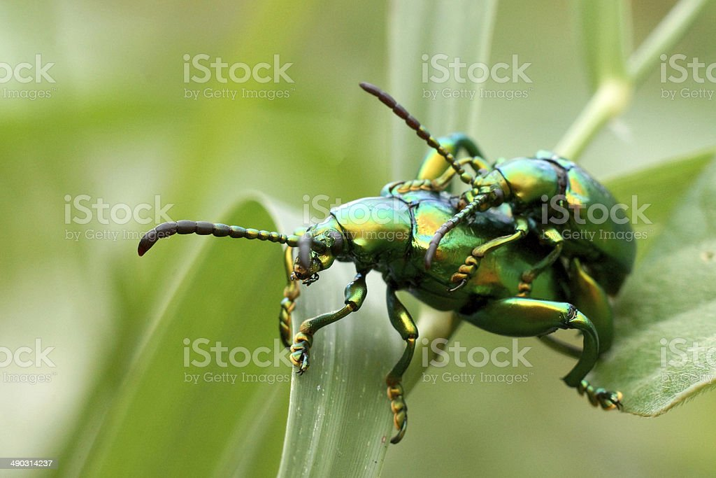 Green insects are mating royalty-free stock photo