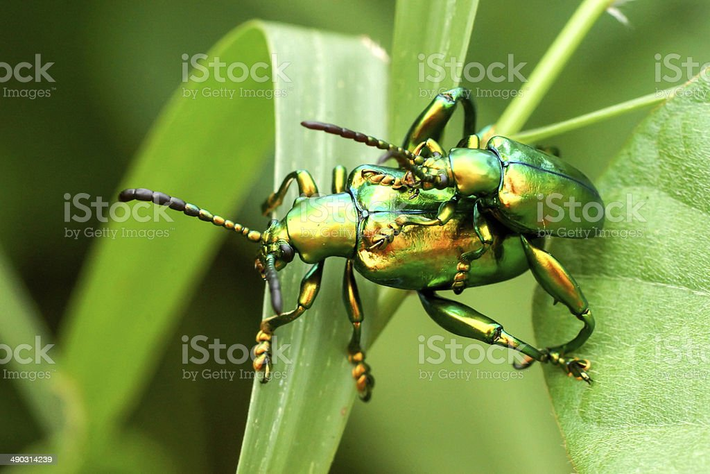 Green insects are mating stock photo