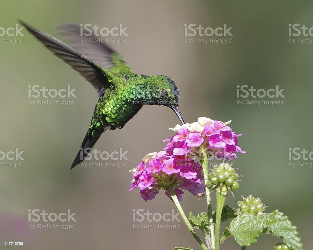 Green Iridescent Hummingbird Feeding on Pink Flower stock photo